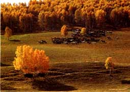 木兰围场白桦林