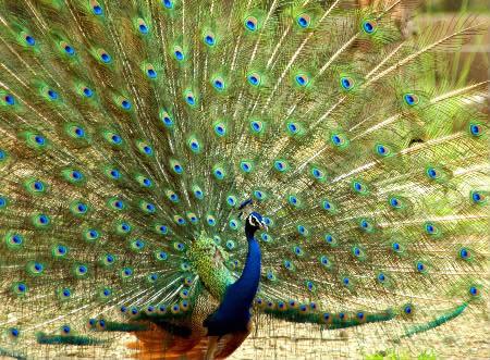 金孔雀采摘观光园